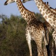 Giraffes - Etosha National Park - Namibia - Stock Photo