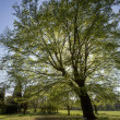Stock Photo: Beech Tree - Parkland - England