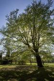 Buk drzewo - parku - anglia — Zdjęcie stockowe