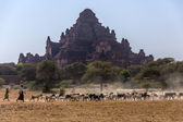 Goat Herd and Dhammayangyi Temple - Myanmar — Stock Photo