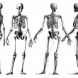 Human Skeleton — Stock Photo #29689635