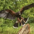 Harris Hawk - Ecuador - South America — Stock Photo