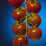 Постер, плакат: Vine Tomatos