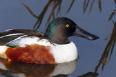 Northern Shoveler Duck (Anas clypeata) — Stock Photo