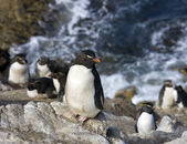 Rockhopper Penguins on Pebble Island in The Falkland Islands — Stock Photo