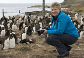 Tourist in a Rockhopper Penguin Colony in the Falkland Islands — Stock Photo