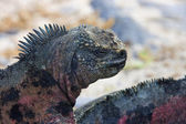 Marine Iguana - Galapagos Islands - Ecuador — 图库照片