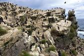 Rockhopper Penguins - Pebble Island - Falkland Islands — Stock Photo