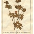 Scanned herbarium sheets - herbs and flowers - Stok fotoraf