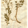 Royalty-Free Stock Photo: Scanned herbarium sheets - herbs and flowers