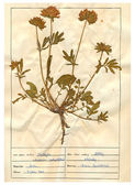 Scanned herbarium sheets - herbs and flowers — Stock Photo