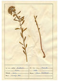 Digitalizados folhas de herbário - ervas e flores — Fotografia Stock