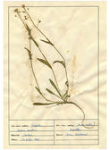 Scanned herbarium sheets - herbs and flowers — Stockfoto