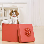 Dog In Gift Box — Stock Photo