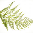 Fern Frond on White - Stock Photo