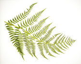 Fern Frond on White — Stock Photo