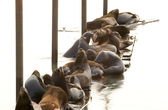 Leoni marini — Foto Stock