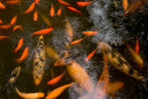 A Whirl of Koi — Stock Photo