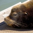 Stock Photo of an Old Sea Lion on a Dock — Stock Photo