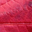 Reddish Maple Leaf, Background - Stockfoto