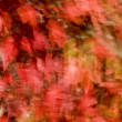 Foto de Stock  : Red Maples Leaves in Autumn