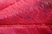 Reddish Maple Leaf, Background — Stock Photo