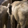 Elephants, a Backwards View — Stock Photo