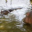 Heavenly Hippos - Stock Photo