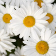 Group of Beautiful Shasta Daisies — Stock Photo