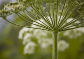 Queen Anne's Lace — Stock Photo