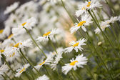 A Group of Shasta Daisies — Stock Photo
