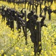 Grape Vines and Mustard Flowers, Napa Valley — Stock Photo #19945957