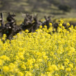 Grape Vines and Mustard Flowers, Napa Valley — Stock Photo #19945967
