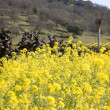 Grape Vines and Mustard Flowers, Napa Valley — Stock Photo #19946037