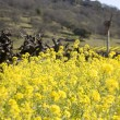 Grape Vines and Mustard Flowers, Napa Valley - Stock Photo