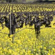 Grape Vines and Mustard Flowers, Napa Valley — Stock Photo #19946065