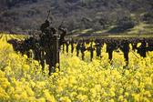 Vides de uva y flores de mostaza, valle de napa — Foto de Stock
