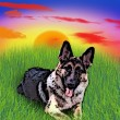 German Shepard — Stock Photo