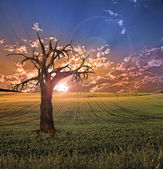 Old tree in sunset landscape — Stock Photo