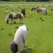Stock Photo: Miniature Ponys
