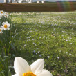 Daffodil closeup and farm — Stock Photo