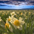 Stock Photo: Daffodil Sunset