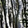 Aspens Abstract — Stock Photo
