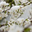 Stock Photo: Flowering tree in snow