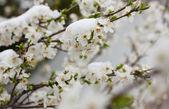 árbol de floración en la nieve — Foto de Stock