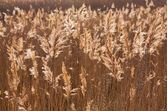 Yellow reed on lake — Stock Photo