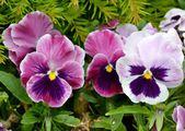 Pensamientos púrpuras y blancos — Foto de Stock