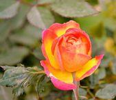 Bright orange rose — Stock Photo