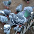 Stock Photo: Feral pigeon
