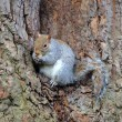 Wild squirrel — Stock Photo #40032287